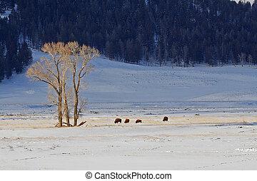 Buffalo in Lamar Valley