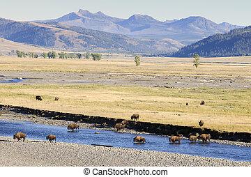 Buffalo in landscape at Yellowstone