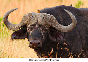 Buffalo in Masai Mara - Male buffalo with oxpeckers walking ...