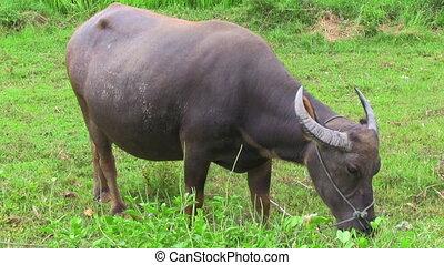 buffalo in the field