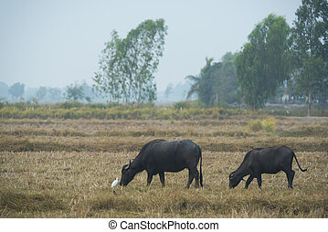 Buffalo in the field of Thailand