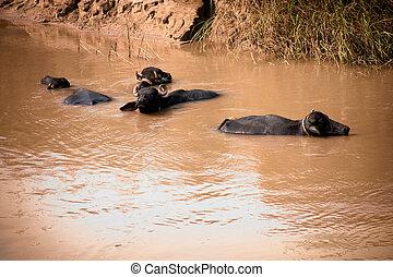 Buffalo in water