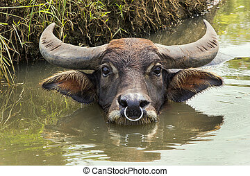 Buffalo lying in the water.