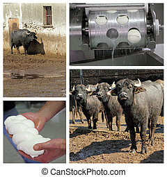 Buffalo mozzarella production on italian farm in Campania...