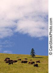 Buffalo, National Bison Range - Photo of a buffalo herd, ...