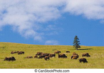 Photo of a buffalo herd, National Bison Range, Montana