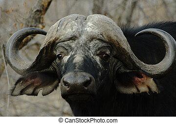 Buffalo - Nice horns hey?