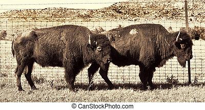 Buffalo of Oklahoma.