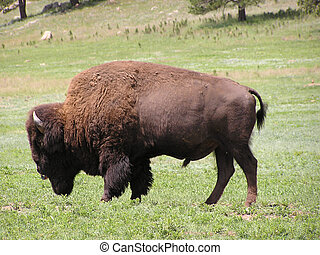 Buffalo or bison in Black Hills - Custer State Park,South...