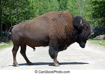 Buffalo - Picture of a mature Bison standing on a road