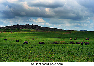 Buffalo of Lawton,Oklahoma.