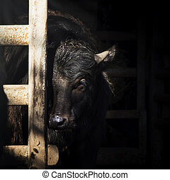 Buffalo portrait on a dark background in a stall. Close-up. Unrecognizable place. Selective focus