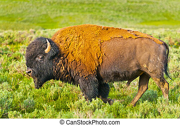 Beautiful Majestic American Buffalo roaming on the Yellowstone Prairie