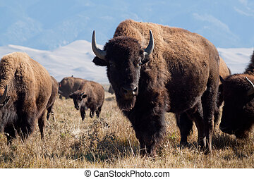 Buffalo herd on Zapata Ranch, Colorado. The high desert grasslands, alpine forests, wetlands, sand dunes, creeks and lush meadows offer one of the most scenic and ecologically diverse landscapes for bison ranch.