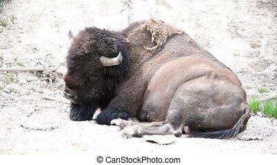 Buffalo Relaxing, Yellowstone Bison - Yellowstone National Park, Wyoming. Slow Motion