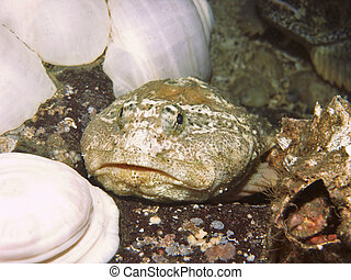 Buffalo Sculpin (Enophrys bison) - Bottom dwelling fish...