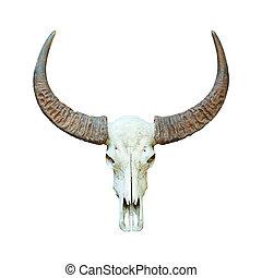 Buffalo skull isolated. - Asian buffalo skull isolated on ...