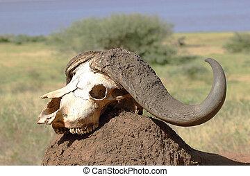 Buffalo skull on a mound of earth