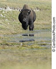 Buffalo standing in water at Yellowstone
