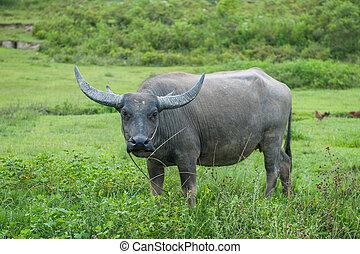 Buffalo, Sumatra, Indonesia