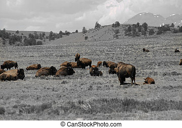 Buffalo Survive - Buffalo herds have been brought back from...