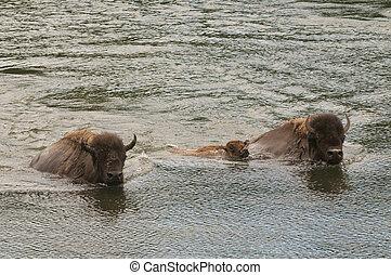 buffalo swimming across the yellowstone