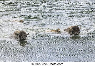 buffalo swimming