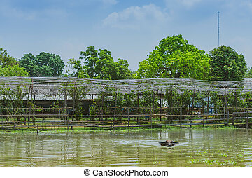 Buffalo swimming in the swamp at Thai Buffalo Conservation Village in Suphan Buri, Thailand
