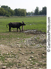 Buffalo that scratching on a wooden pole
