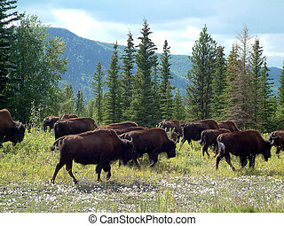 buffalo trek - Group of wild buffalos in Yukon, Canada.