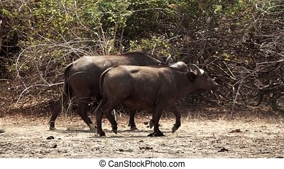 Buffalo walking in super slow motion, profile view