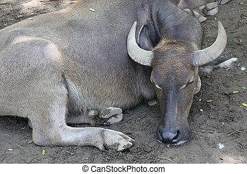 buffalo, water buffalo