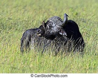 Buffaloes in the Masai Mara National Park. Kenya