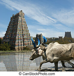 buffaloes in the rice fields on the background of Meenakshi ...