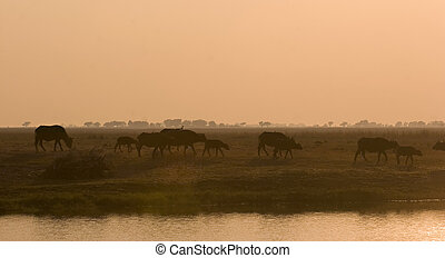 Buffaloes in the sunset