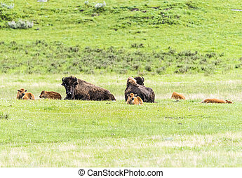 Buffaloes in Yellowstone national park