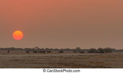 buffalos migrate savannah