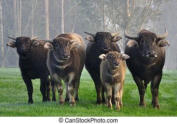 buffel, gezin