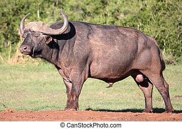 buffle africain, taureau