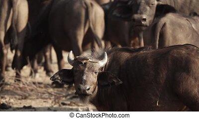 buffle, sauvage, veau, regarder, oiseau, appareil photo