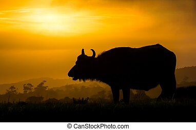 buffle, silhouette, coucher soleil, africaine
