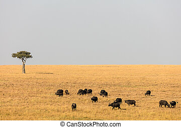 buffles, afrique, troupeau