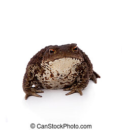 Common or European toad on white - Bufo bufo. Common or...