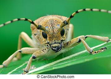 Bug at a dawn - Bug Saperda carcharias, sleeps early in the ...