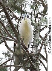 bug-eyed heron - Heron in a tree looking at the camera.