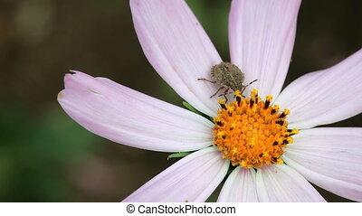 Bug. - Grey Bug at the Cosmos flower.