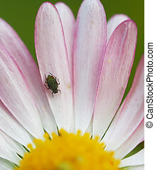bug on a flower daisy