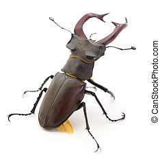 Bug (Oryctes Nasicornis). - Male of deer beetle (Oryctes ...