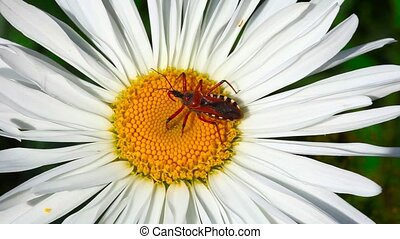 Bug. - Red bug on chamomile.