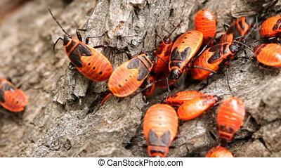bug rhocoris apterus